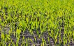 Φυτά σιταριού Στοκ Εικόνα