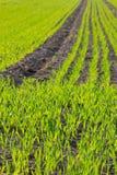 Φυτά σιταριού Στοκ φωτογραφία με δικαίωμα ελεύθερης χρήσης