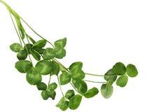 Φυτά τριφυλλιών στοκ εικόνες
