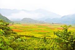 Φυτά τσαγιού της Νότιας Κίνας Στοκ Φωτογραφίες