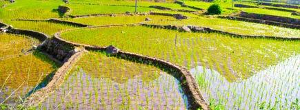 Φυτά τσαγιού της Νότιας Κίνας Στοκ Φωτογραφία