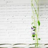 φυτά arabidopsis Στοκ Εικόνες