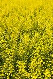 φυτά canola Στοκ φωτογραφία με δικαίωμα ελεύθερης χρήσης