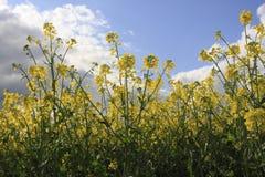 φυτά canola στοκ εικόνες με δικαίωμα ελεύθερης χρήσης