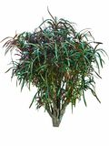Φυτά Croton με τα πράσινα ζωηρόχρωμα φύλλα Στοκ Φωτογραφία