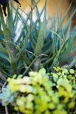 φυτά succulent Στοκ εικόνα με δικαίωμα ελεύθερης χρήσης
