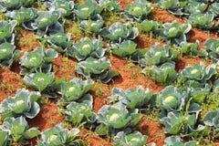 Φυτεία λάχανων στην Ινδία στοκ φωτογραφία