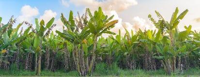 Φυτεία δέντρων μπανανών με την ηλιοφάνεια Στοκ εικόνες με δικαίωμα ελεύθερης χρήσης