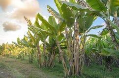 Φυτεία δέντρων μπανανών με την ηλιοφάνεια Στοκ εικόνα με δικαίωμα ελεύθερης χρήσης
