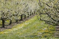 Φυτεία δέντρων της Apple Στοκ Εικόνες
