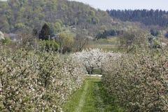 Φυτεία δέντρων της Apple Στοκ εικόνα με δικαίωμα ελεύθερης χρήσης