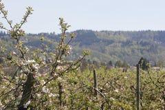 Φυτεία δέντρων της Apple Στοκ φωτογραφία με δικαίωμα ελεύθερης χρήσης
