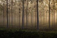 Φυτεία δέντρων σε μια ομιχλώδη ημέρα Στοκ Εικόνες