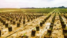 Φυτεία ελαιοφοινίκων ή σπορά ελαιοφοινίκων στοκ φωτογραφίες