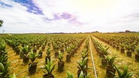 Φυτεία ελαιοφοινίκων ή σπορά ελαιοφοινίκων στοκ εικόνα με δικαίωμα ελεύθερης χρήσης