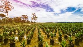 Φυτεία ελαιοφοινίκων ή σπορά ελαιοφοινίκων στοκ φωτογραφίες με δικαίωμα ελεύθερης χρήσης