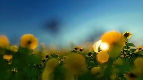 Φυτεία ηλίανθων ενάντια στο μπλε ουρανό απόθεμα βίντεο