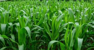 Φυτεία καλαμποκιού στο βόρειο Βιετνάμ Στοκ φωτογραφία με δικαίωμα ελεύθερης χρήσης