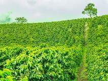 Φυτεία καφέ σε Jerico, Κολομβία Στοκ Εικόνες