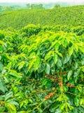 Φυτεία καφέ σε Jerico, Κολομβία Στοκ Φωτογραφία