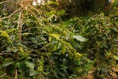 Φυτεία καφέ στη DA Lat, Βιετνάμ Στοκ Εικόνες
