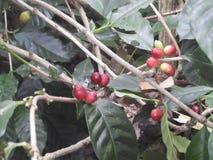 Φυτεία καφέ στο lambasingi ένα ομιχλώδες πρωί στοκ φωτογραφίες με δικαίωμα ελεύθερης χρήσης