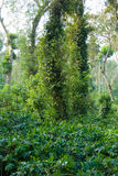 φυτεία καφέ στοκ φωτογραφία με δικαίωμα ελεύθερης χρήσης