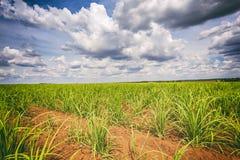 Φυτεία καλάμων ζάχαρης και νεφελώδης ουρανός - coutryside της Βραζιλίας Στοκ εικόνα με δικαίωμα ελεύθερης χρήσης