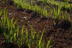 Φυτεία καλάμων ζάχαρης Στοκ Φωτογραφίες