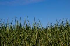 Φυτεία καλάμων ζάχαρης Στοκ Εικόνες