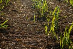 Φυτεία καλάμων ζάχαρης Στοκ εικόνες με δικαίωμα ελεύθερης χρήσης