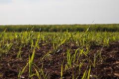 Φυτεία καλάμων ζάχαρης Στοκ εικόνα με δικαίωμα ελεύθερης χρήσης