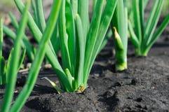 φυτεία κρεμμυδιών στοκ φωτογραφία με δικαίωμα ελεύθερης χρήσης