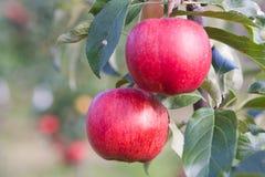 φυτεία μήλων Στοκ Φωτογραφία