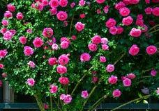 Φυτεία με τριανταφυλλιές στο πάρκο Ashikaga στην Ιαπωνία στοκ φωτογραφίες με δικαίωμα ελεύθερης χρήσης