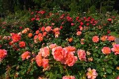 Φυτεία με τριανταφυλλιές Στοκ Φωτογραφίες