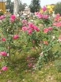 Φυτεία με τριανταφυλλιές Στοκ φωτογραφία με δικαίωμα ελεύθερης χρήσης