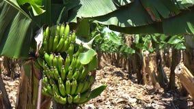 Φυτεία μπανανών, δέντρα μπανανών Λουλούδια μπανανών φιλμ μικρού μήκους