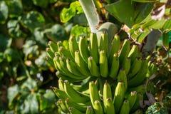 Φυτεία μπανανών, δέσμη των πράσινων μπανανών που στο δέντρο μπανανών Στοκ Φωτογραφίες