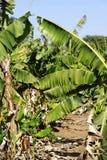 Φυτεία μπανανών Στοκ Εικόνα