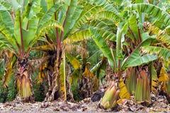 φυτεία μπανανών στοκ φωτογραφία με δικαίωμα ελεύθερης χρήσης