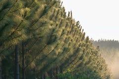 Φυτεία πεύκων Στοκ Εικόνες