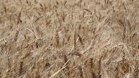 Φυτεία σίτου στην αργεντινή επαρχία απόθεμα βίντεο