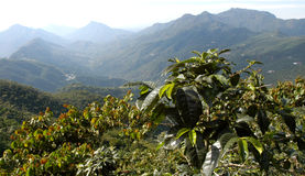 φυτεία της Γουατεμάλα καφέ 12 Στοκ εικόνα με δικαίωμα ελεύθερης χρήσης