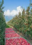 Φυτεία της Apple, διαδρομή νότιου τυρολέζικη κρασιού, Ιταλία Στοκ φωτογραφίες με δικαίωμα ελεύθερης χρήσης