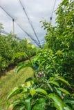 Φυτεία της Apple με την καθαρή προστασία Στοκ Φωτογραφία