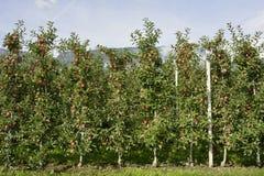Φυτεία της Apple στο νότιες Τύρολο - την Ιταλία Στοκ Εικόνες