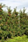 Φυτεία της Apple στο νότιες Τύρολο - την Ιταλία Στοκ φωτογραφίες με δικαίωμα ελεύθερης χρήσης