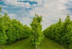 Φυτεία της Apple Στοκ Φωτογραφία