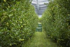 Φυτεία της Apple στοκ εικόνα με δικαίωμα ελεύθερης χρήσης